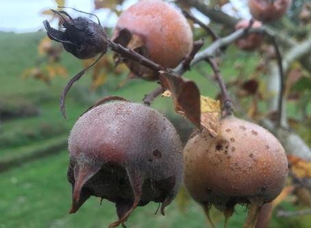 Un fruit d'hiver- la Nèfle -