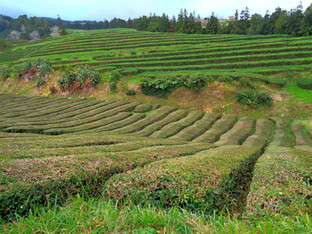 Gorreana: the only tea plantation in Europe