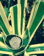 Aloe near Cape Roca, Sintra