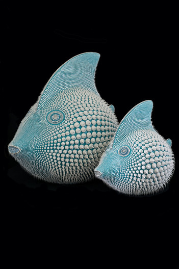 Turquoise blue moon fish duo