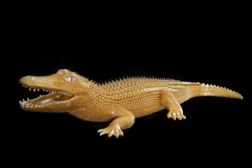 Crocodile Or 1