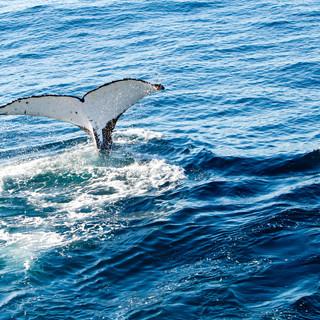 Whale-diving.jpeg