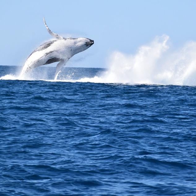 whale-breaching-noosa.jpg