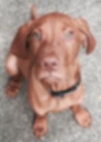 Chesky the Hungarian Vizsla puppy