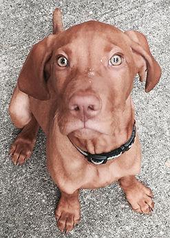 Chesky the Hungarian Vizsla puppy