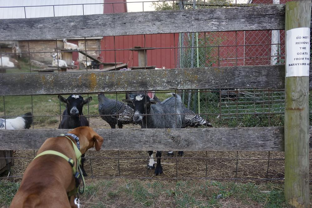 A Pennsylvania barnyard