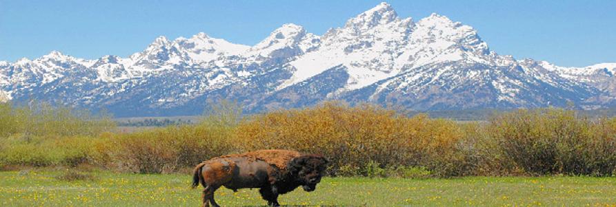 bison11.png
