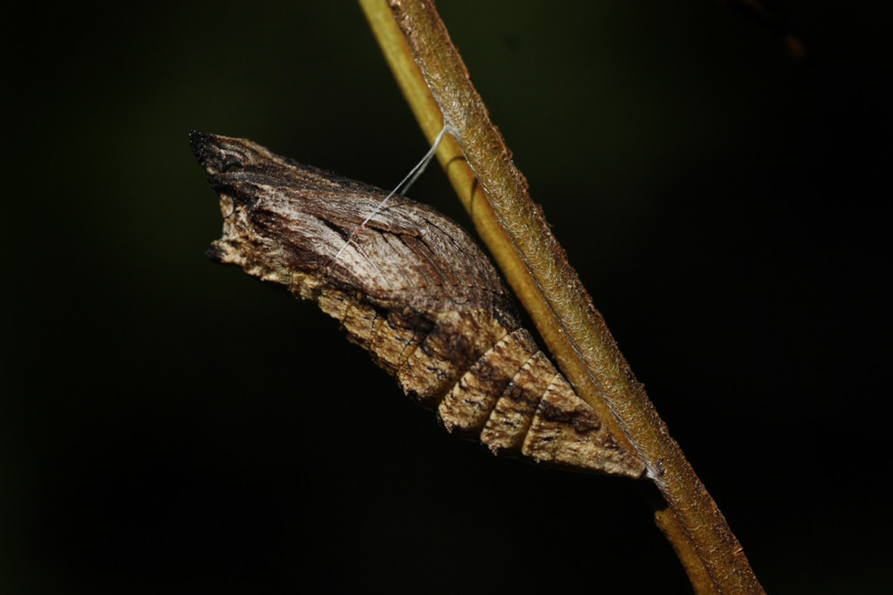 Eastern Black Swallowtail pupa_3232-Ed-W