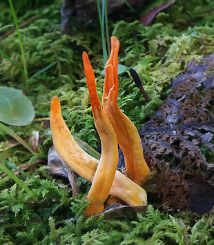 Orange Spindle Coral mushroom