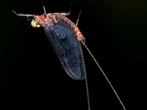 "NEWS: ""Insect wings evolved from legs, mayfly genome suggests"""