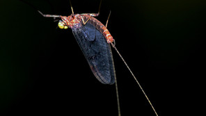 """NEWS: """"Insect wings evolved from legs, mayfly genome suggests"""""""