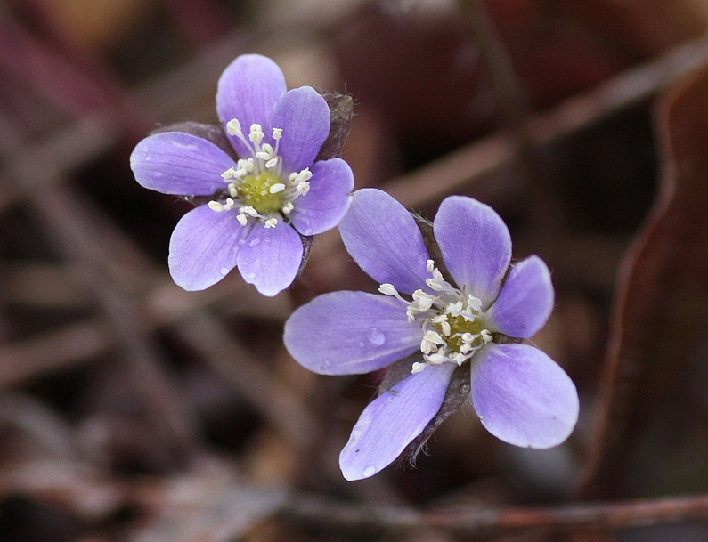 Round-lobed Hepatica, another spring ephemeral