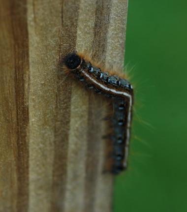 Eastern Tent Caterpillar