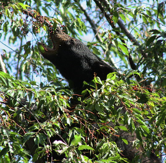Bear yearling eating Black Cherry_9101-3-WIB.jpg