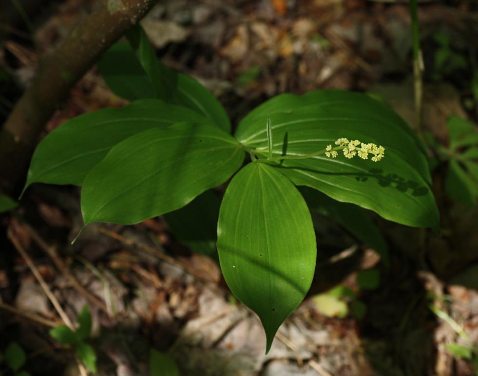 Eastern Solomon's-plume