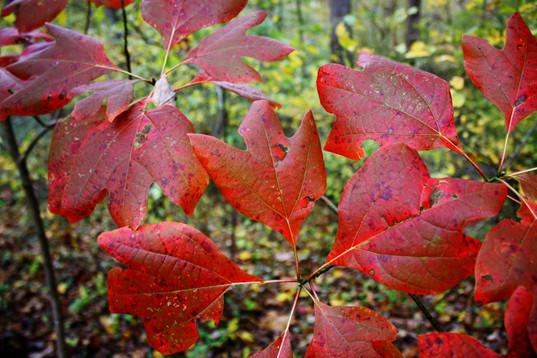 Sassafras Leaves in autumn