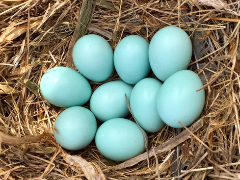 Supersized clutches of bluebird eggs found in nestboxes