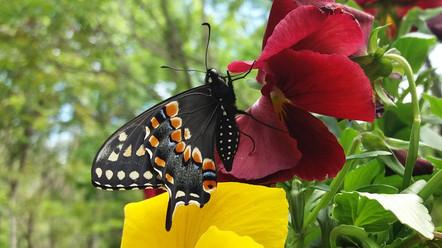 Eastern Black Swallowtail_male 2_090504-