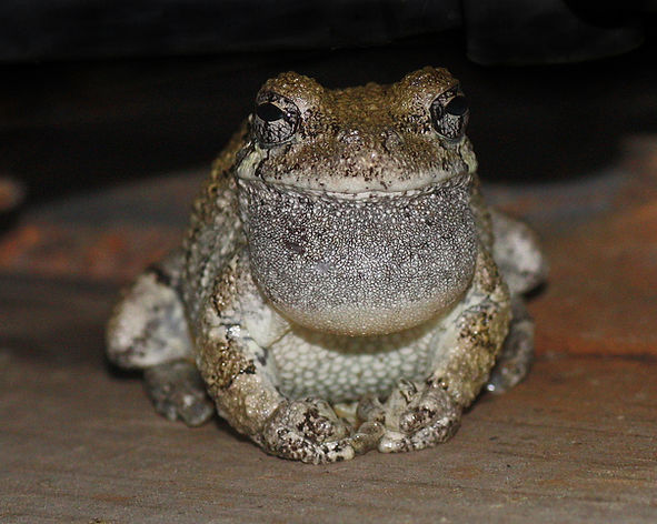 Gray Treefrog in Scanoe_2723-e3.JPG