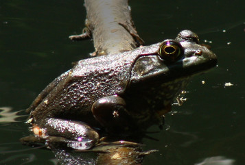 Bullfrog basking at small woodland pond