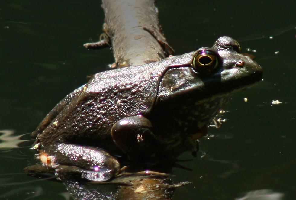 Bullfrog basking at small woodland pond