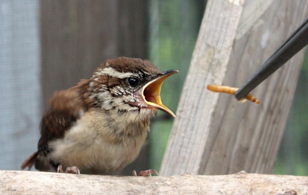 Juvenile Carolina Wren being fed