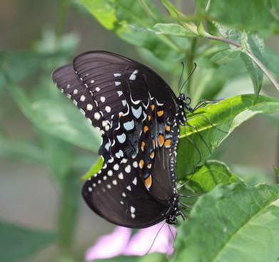 Spicebush Swallowtail butterflies mating
