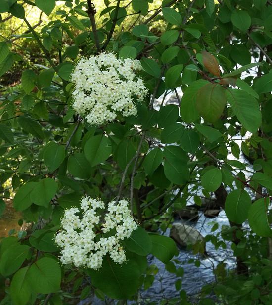 Blackhaw Virburnum blooming