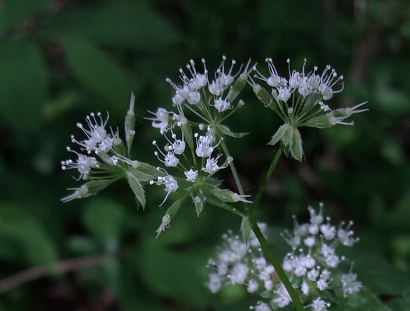 Sweet Cicely blooming