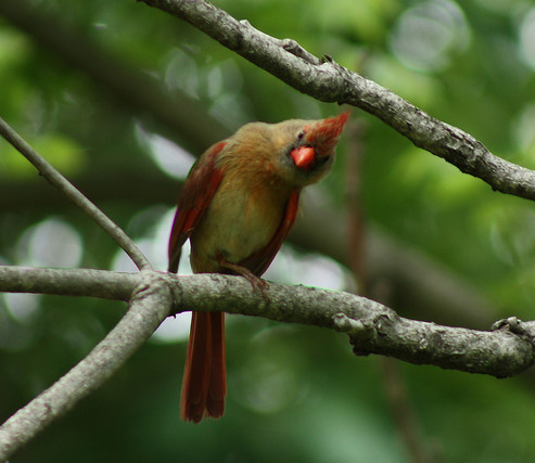 Curious female Northern Cardinal