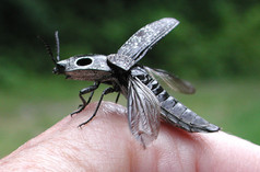 Eyed Click Beetle taking off