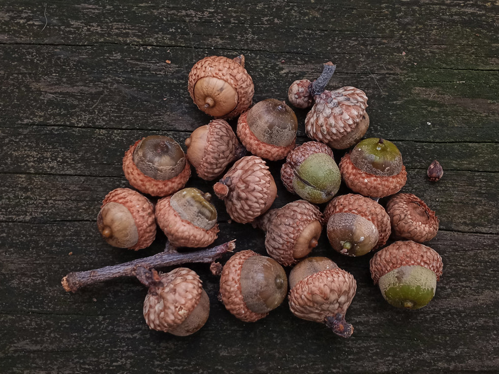 Northern Red Oak acorns_105921-2-WIB.jpg