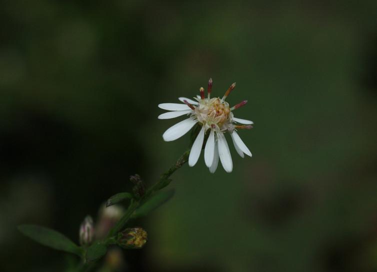 Calico Daisy