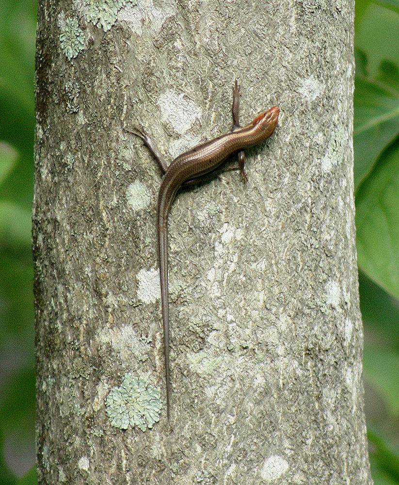 A male Common Five-lined Skink on an Ailanthus tree