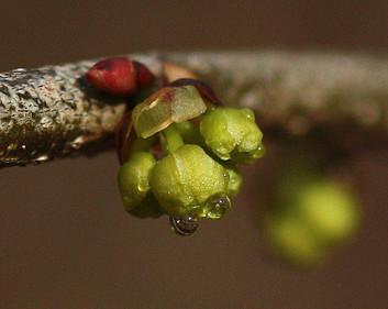 Northern Spicebush budding