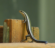 Common Five-lined Skink_juvenile_6672-2-