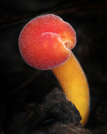 Waxy cap species