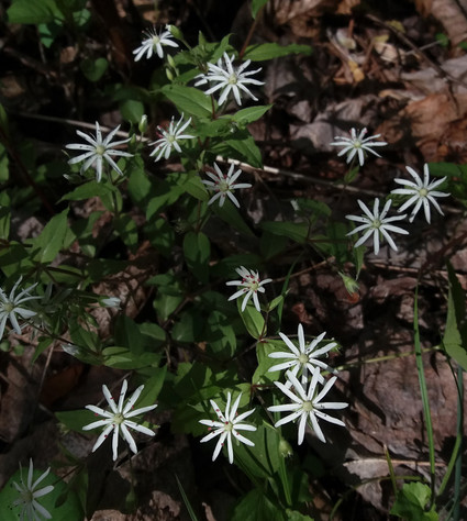 Star Chickweed blooming
