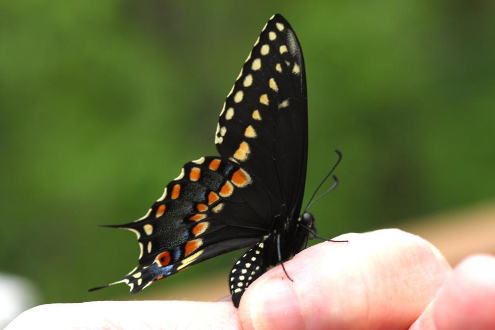 Black Swallowtail_male_4495-2-w.jpg