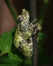 "Gray Treefrog (1.5"" long) on garden trellis"
