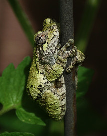"Gray Treefrog (1.5"" long) on garden trellis"