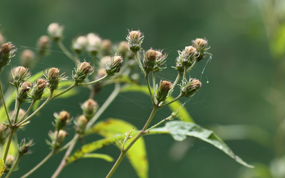 New York Ironweed going to seed