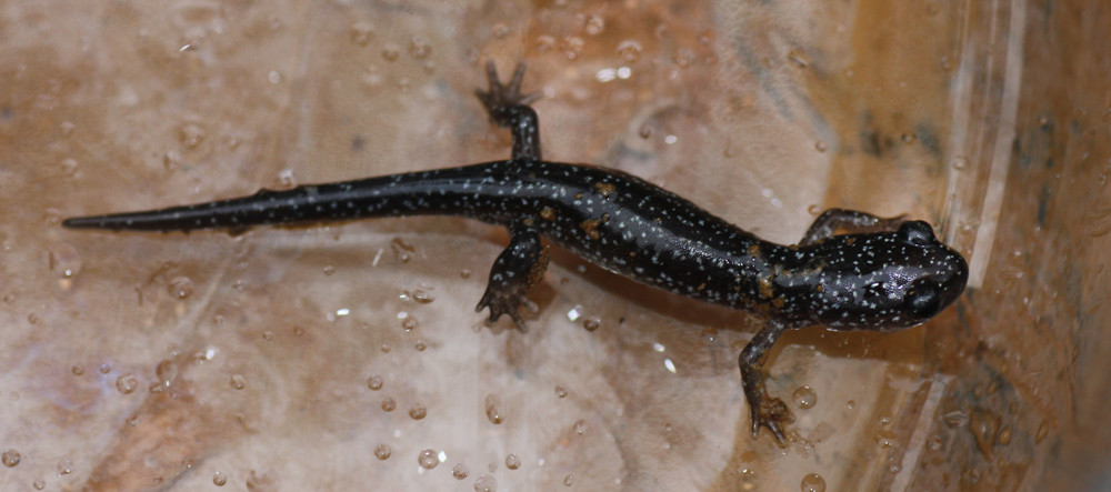 A tiny lead-back morph of the Red-backed Salamander