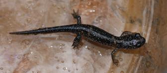 Eastern Red-backed Salamander_lead-back_