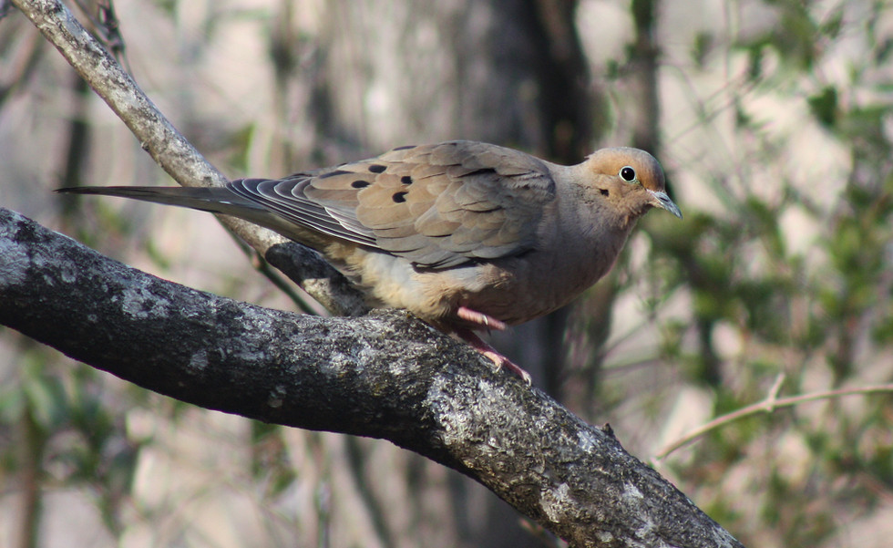 Male Mourning Dove