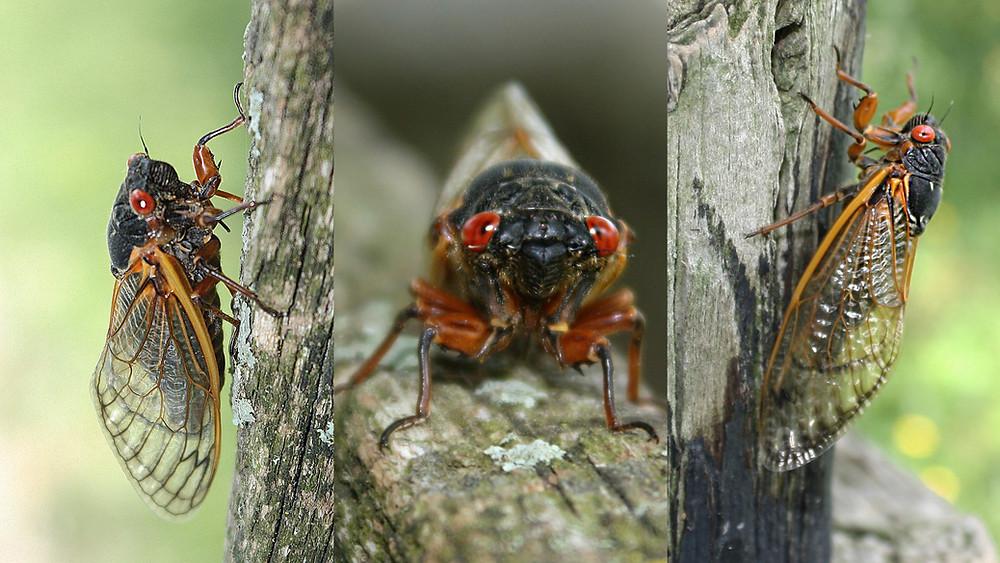 Three periodical cicadas