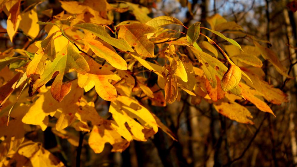 Sassafras leaves in fall