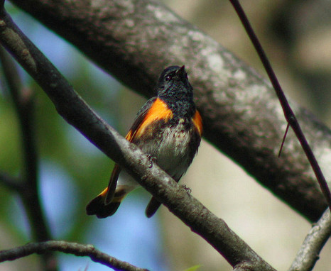 American Redstart_male_4423-2.jpg
