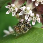 Honey Bee on Common Milkweed in SNP_6156