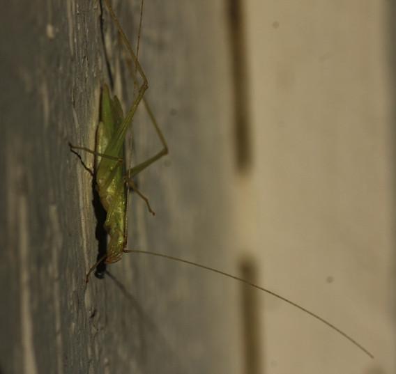 Narrow-winged Tree Cricket_9301_9314-2-WIB.jpg